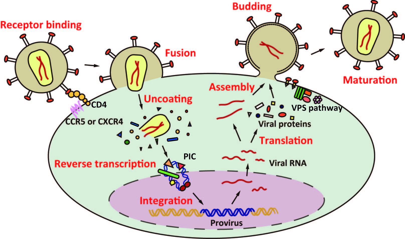 Influenza Virus Diagram Gene Regulatable Lenti...