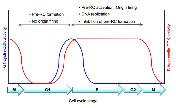 Cell Cycle Regulation Of Dna Replication In S Cerevisiae Intechopen