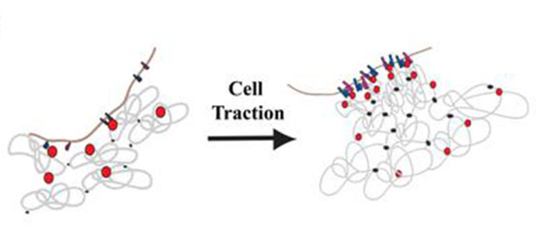 Cell-Biomaterial Interaction: Strategies To Mimic The Extracellular