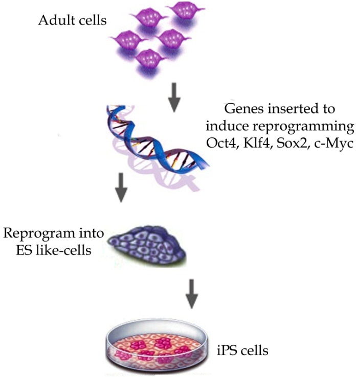 Would like adult stem cells versus embryonic