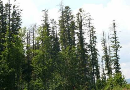 the effects of air pollutants on vegetation and the role of Acid Rain Trees