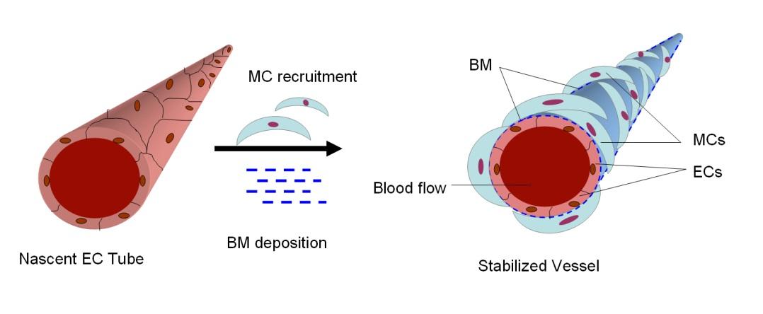 figure 1  process of blood vessel stabilization