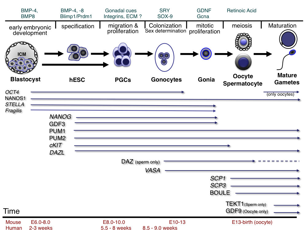 Embryonic Stem Cells And The Germ Cell Lineage