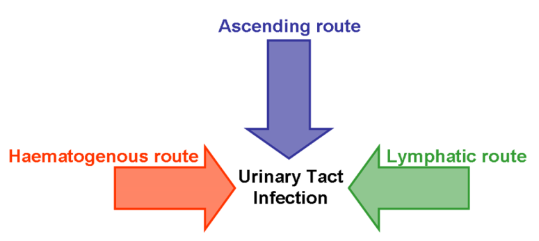 The Pathogenesis of Urinary Tract Infections | IntechOpen