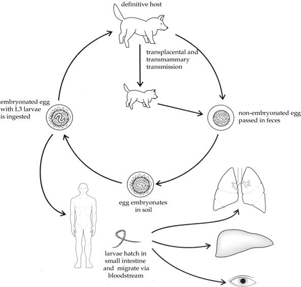 transzmissziós helminthiasis