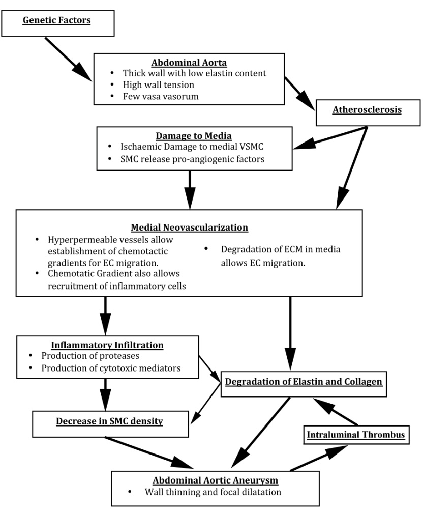 The Pathohistology Of Abdominal Aortic Aneurysm Intechopen