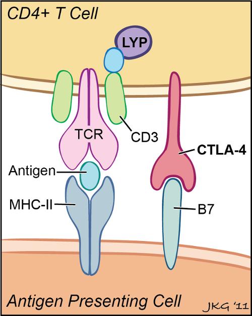 diabetes hla-dr3 tipo 1