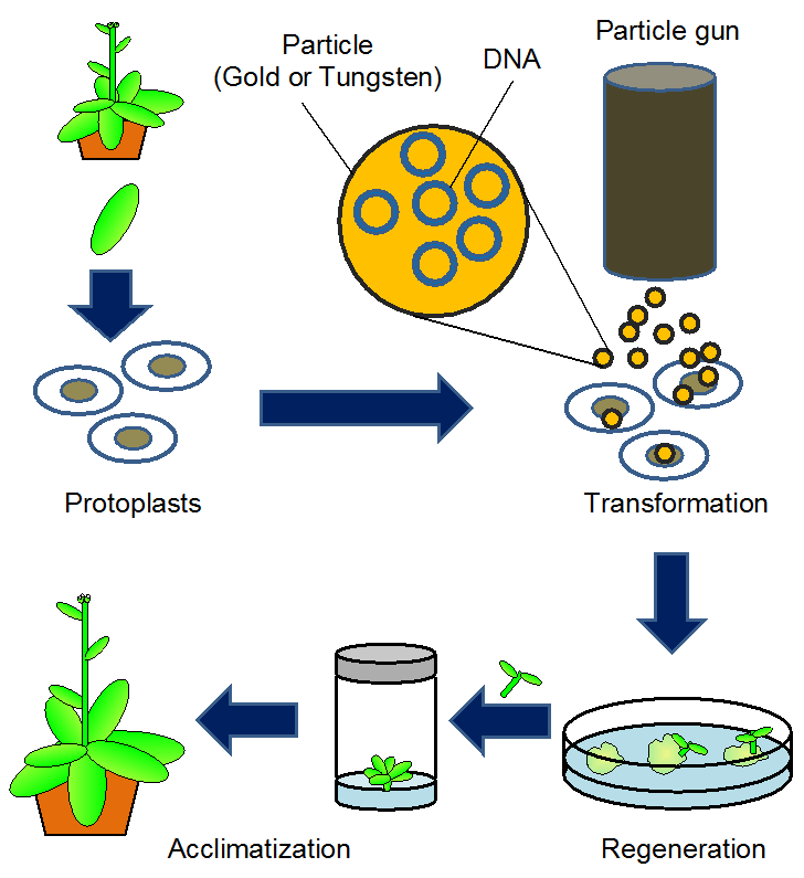 Methods To Transfer Foreign Genes To Plants