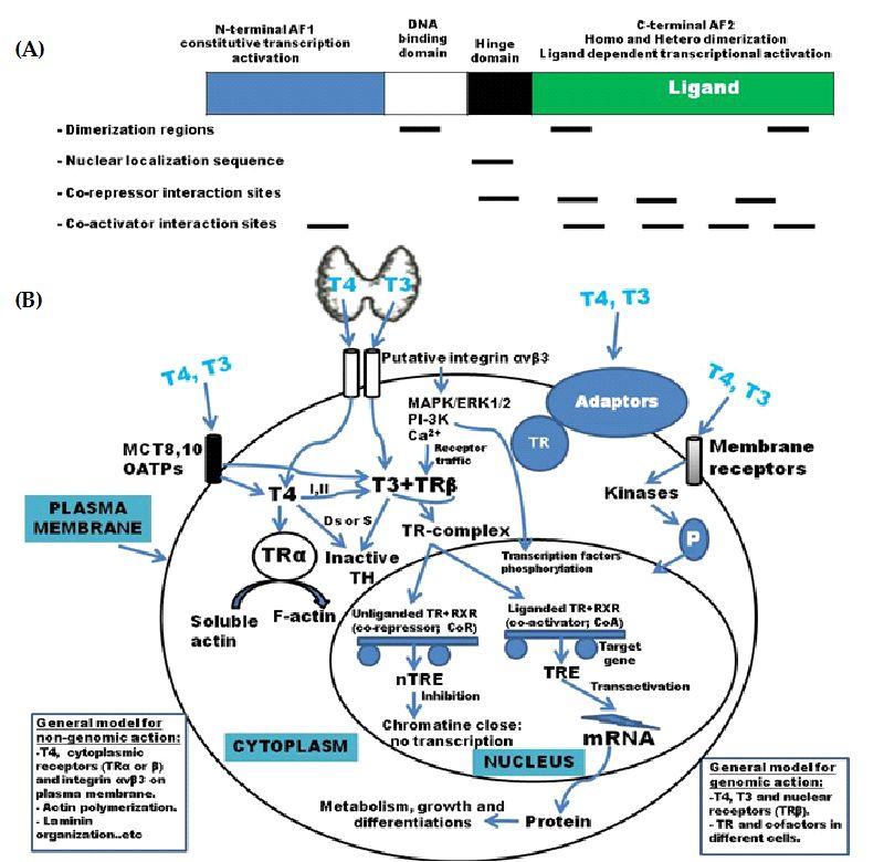 Maternal Fetal Thyroid Interactions Intechopen