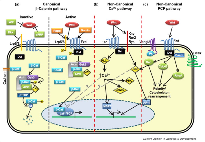 Role and Function of Wnts in the Regulation of Myogenesis ...