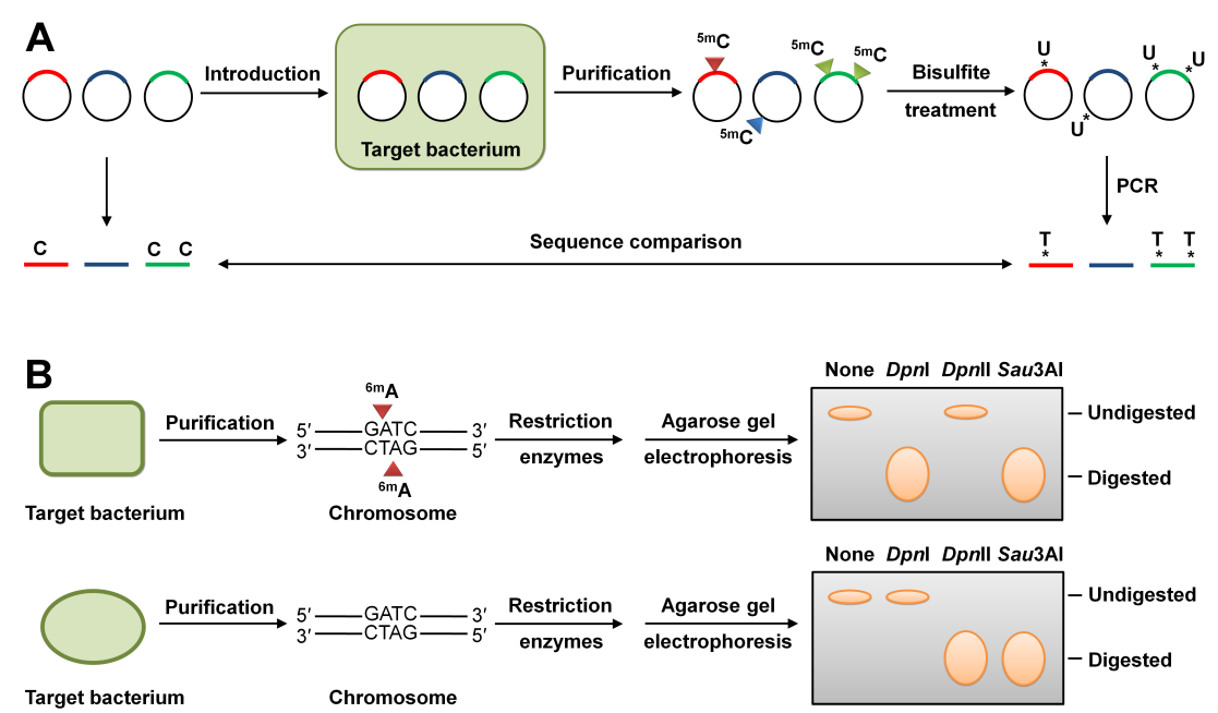 Host-Mimicking Strategies in DNA Methylation for Improved