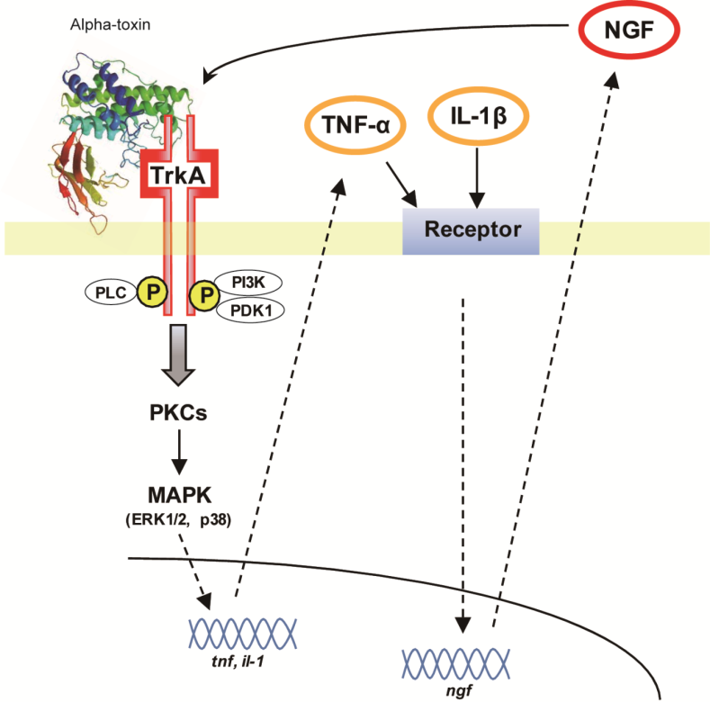 Role of Tyrosine Kinase A Receptor (TrkA) on Pathogenicity