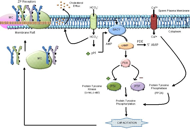 Sperm plasma membrane