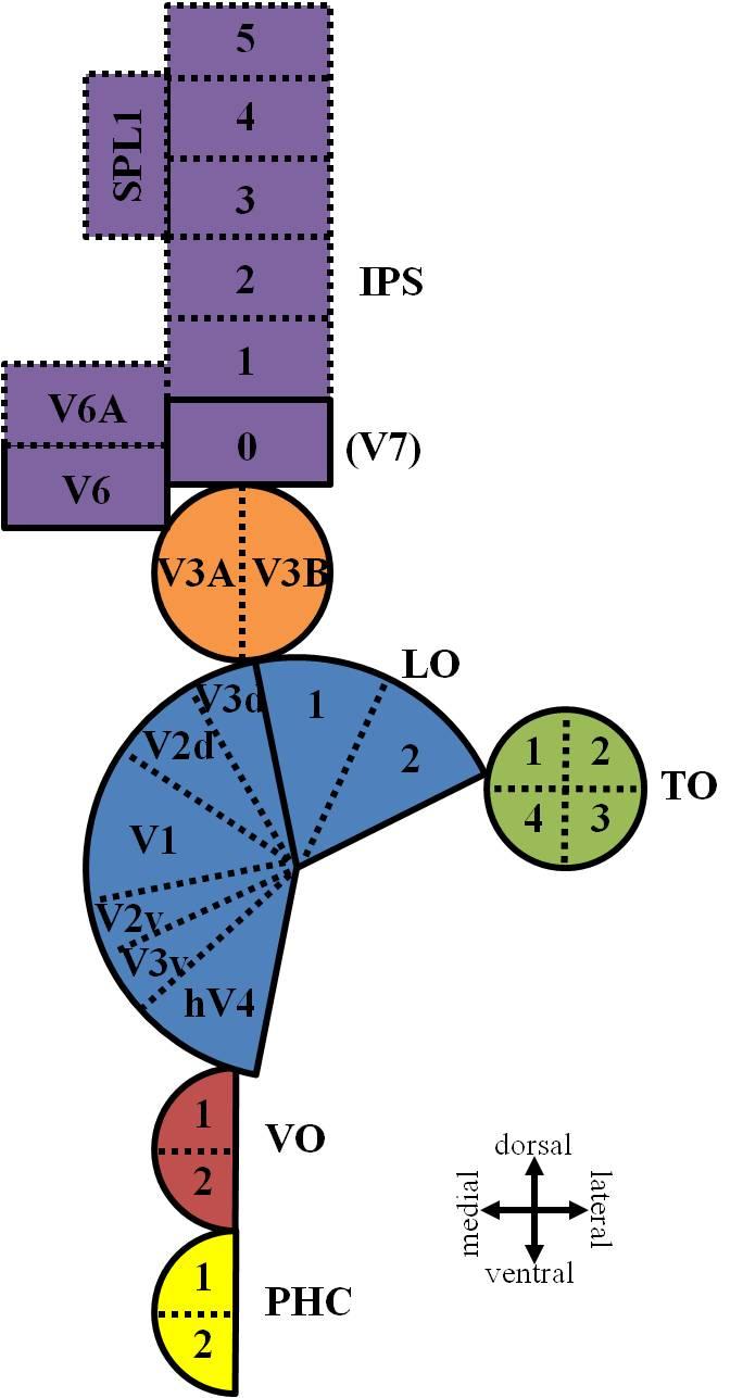 Visual Field Map Organization in Human Visual Cortex