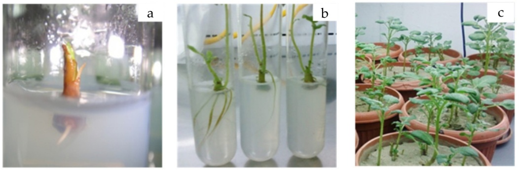 Plant Tissue Culture: Current Status and Opportunities