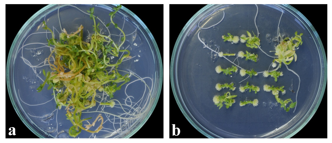 The Prerequisite of the Success in Plant Tissue Culture