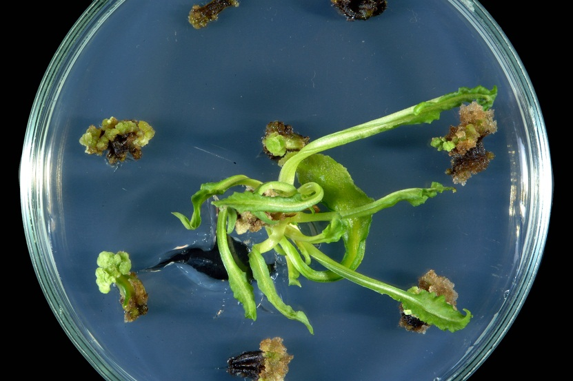 The Prerequisite Of The Success In Plant Tissue Culture High
