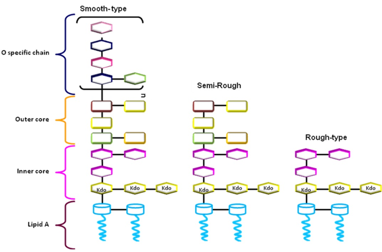 O Antigen Mechanisms of O...