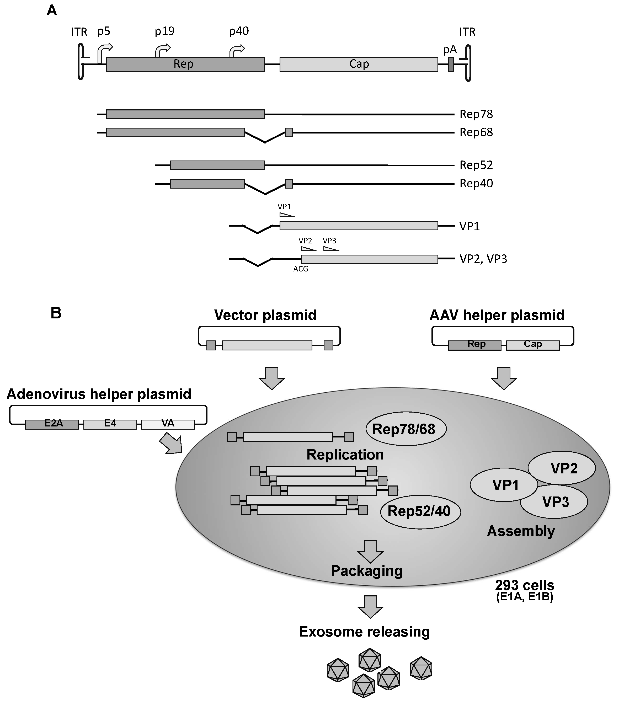 Efficient AAV Vector Production System Towards Gene Therapy For