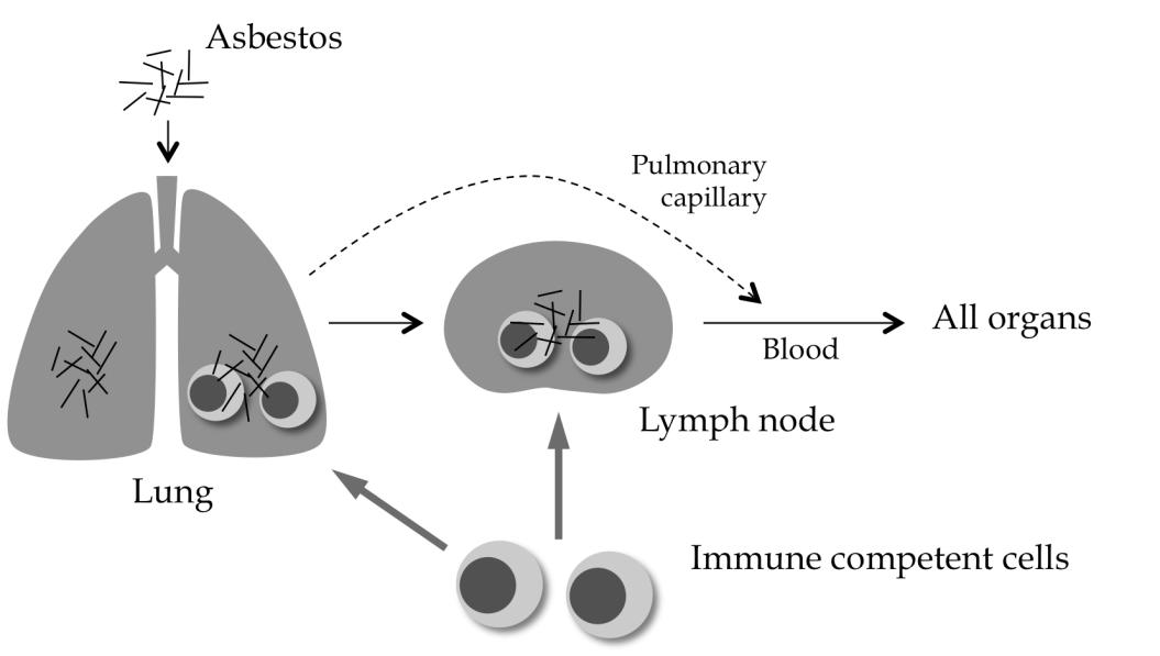 Effect of Asbestos on Anti-Tumor Immunity and Immunological