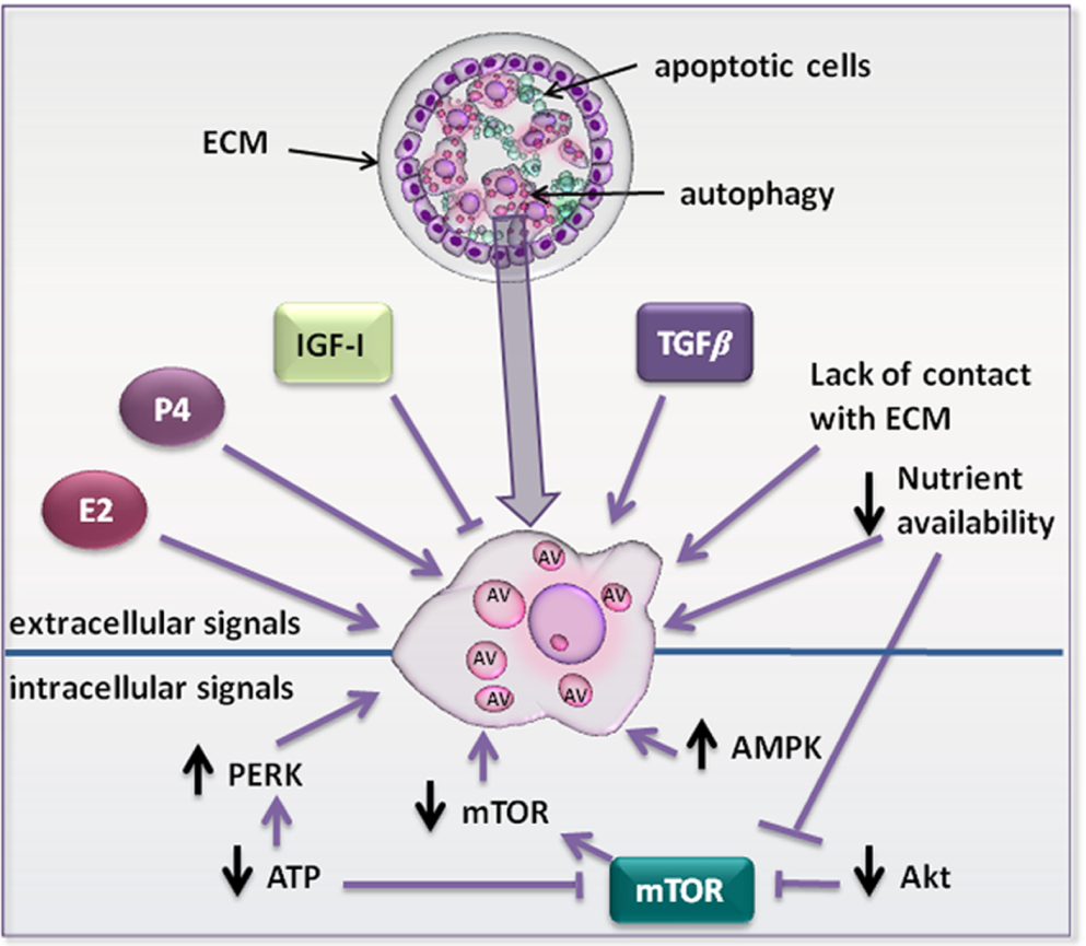 Autophagy in Development and Remodelling of Mammary Gland | IntechOpen