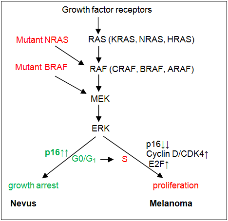 BRAF mutation predicts sensitivity to MEK inhibition   Nature