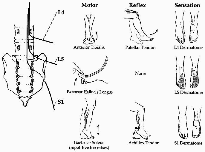100  amicus illustration of amicus anatomy nerve root
