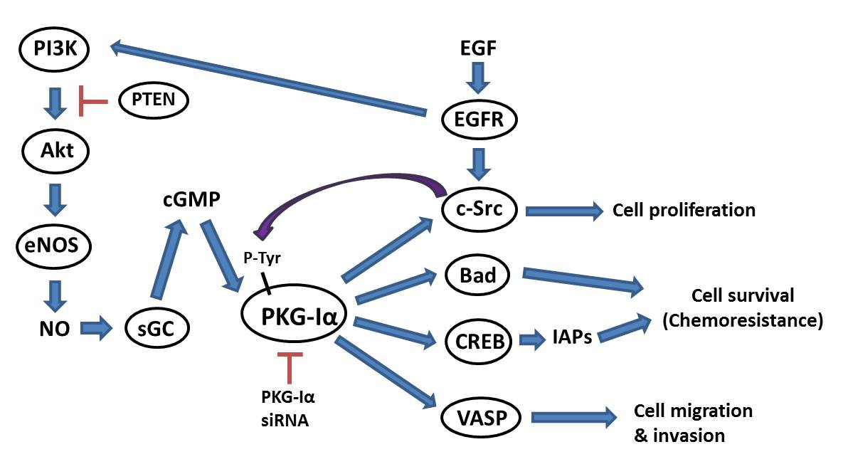 Protein Kinase G-Iα Hyperactivation and VASP Phosphorylation