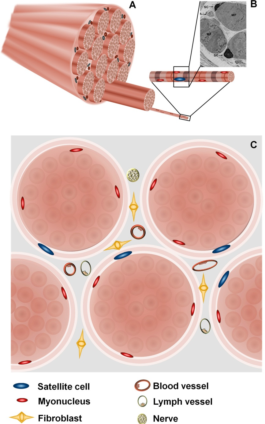 Skeletal Muscle Regeneration For Clinical Application Intechopen