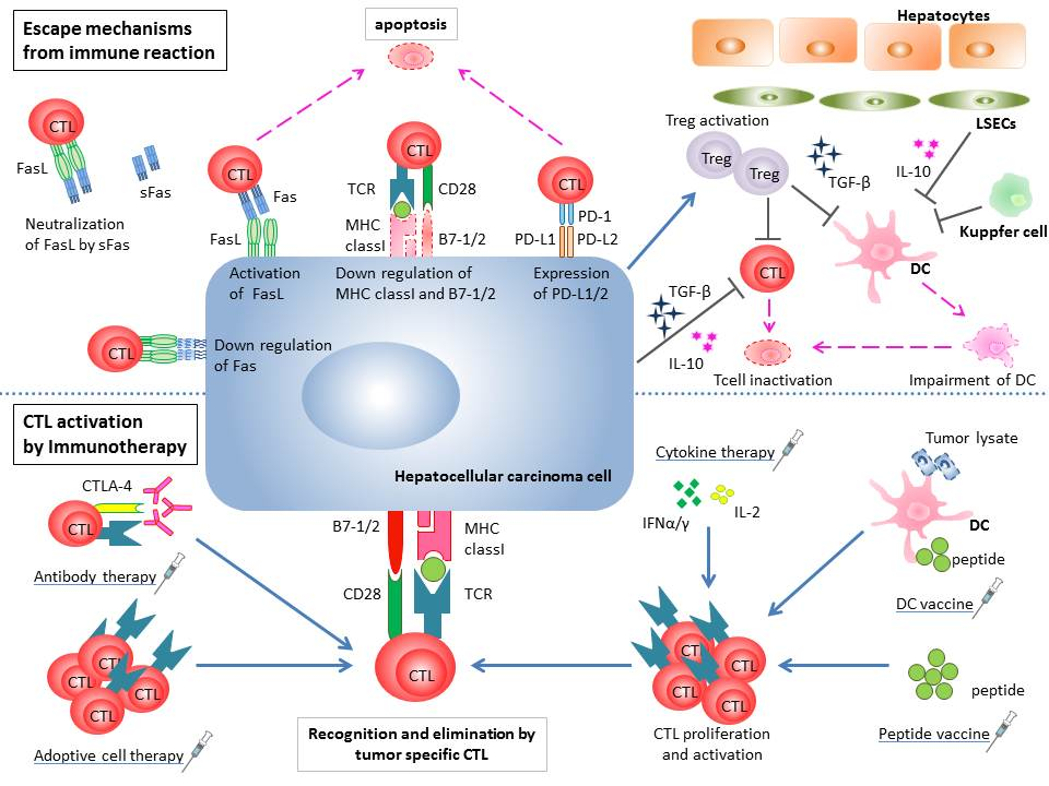 Immunotherapy For Hepatocellular Carcinoma Current Status