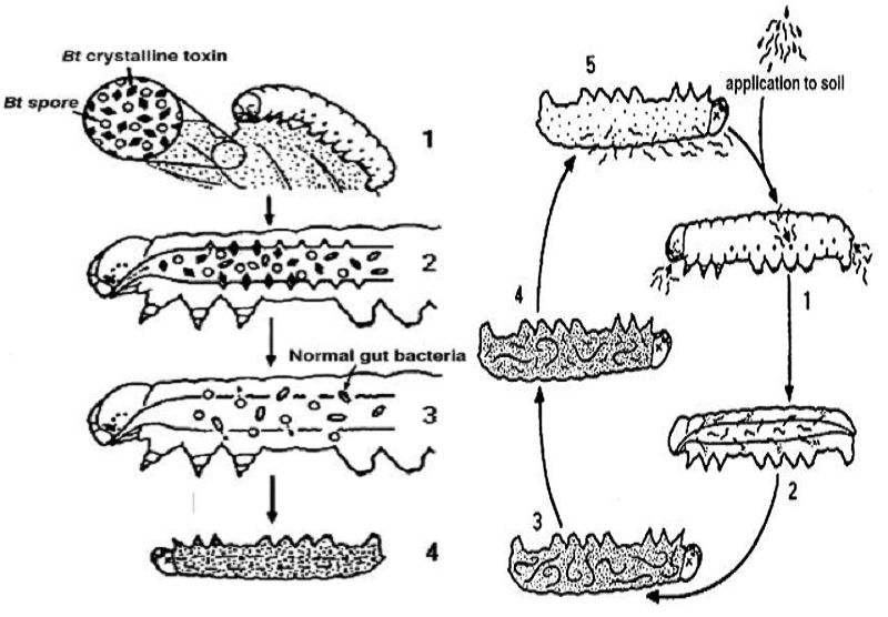Microorganisms in Biological Pest Control — A Review (Bacterial ...