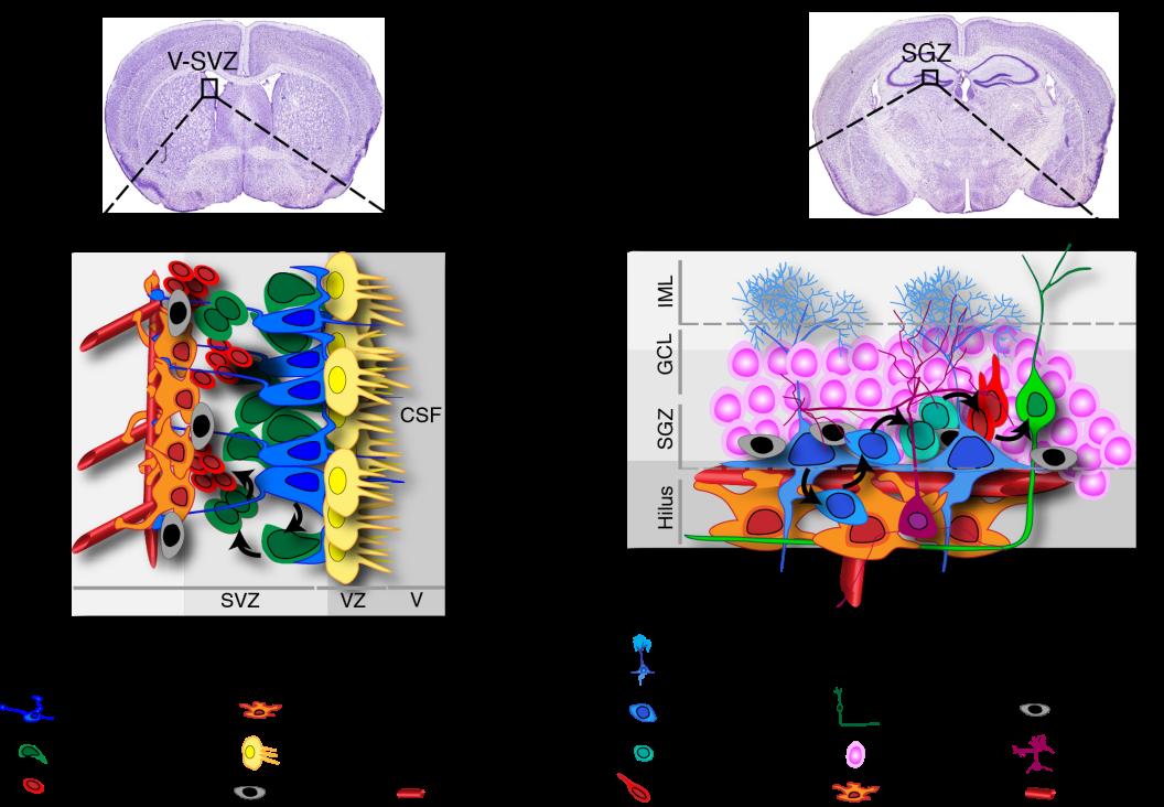Stem cells aglow for brain repair