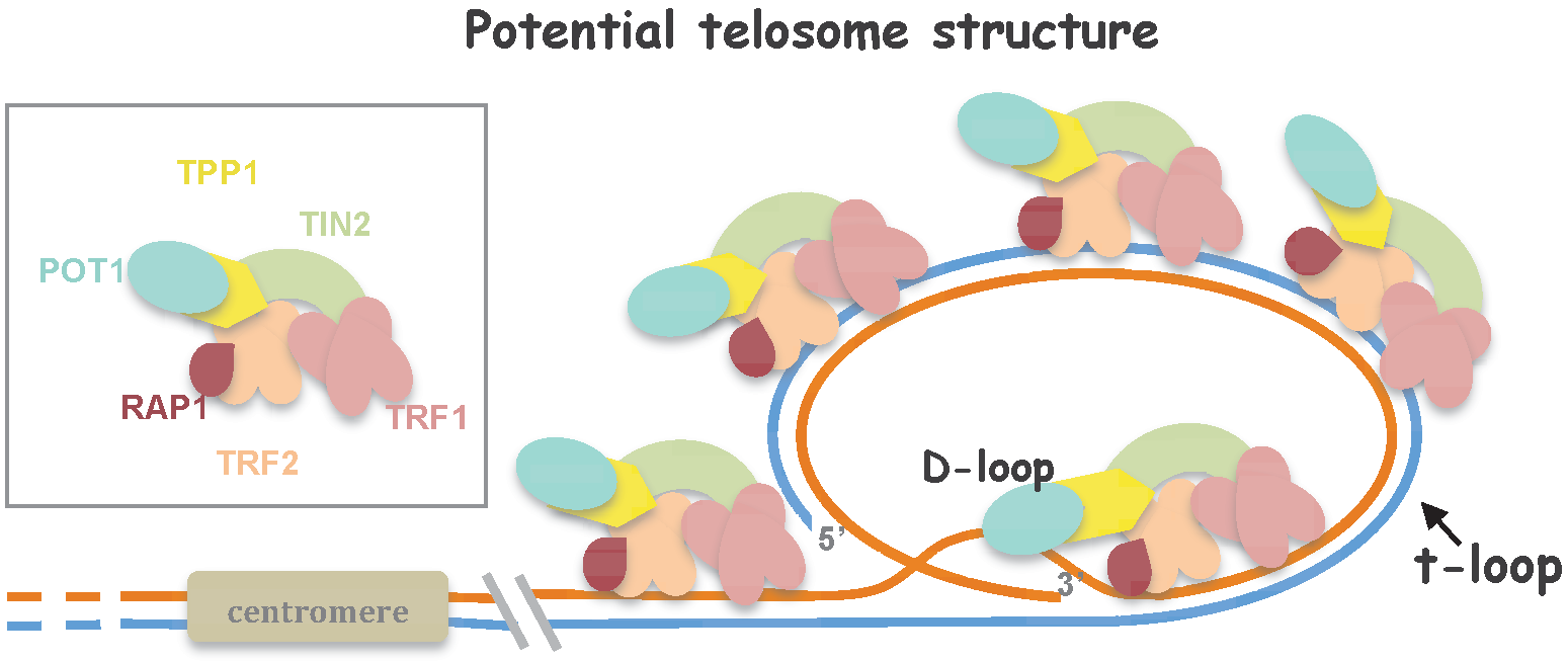 DNA Repair and Telomeres — An Intriguing Relationship