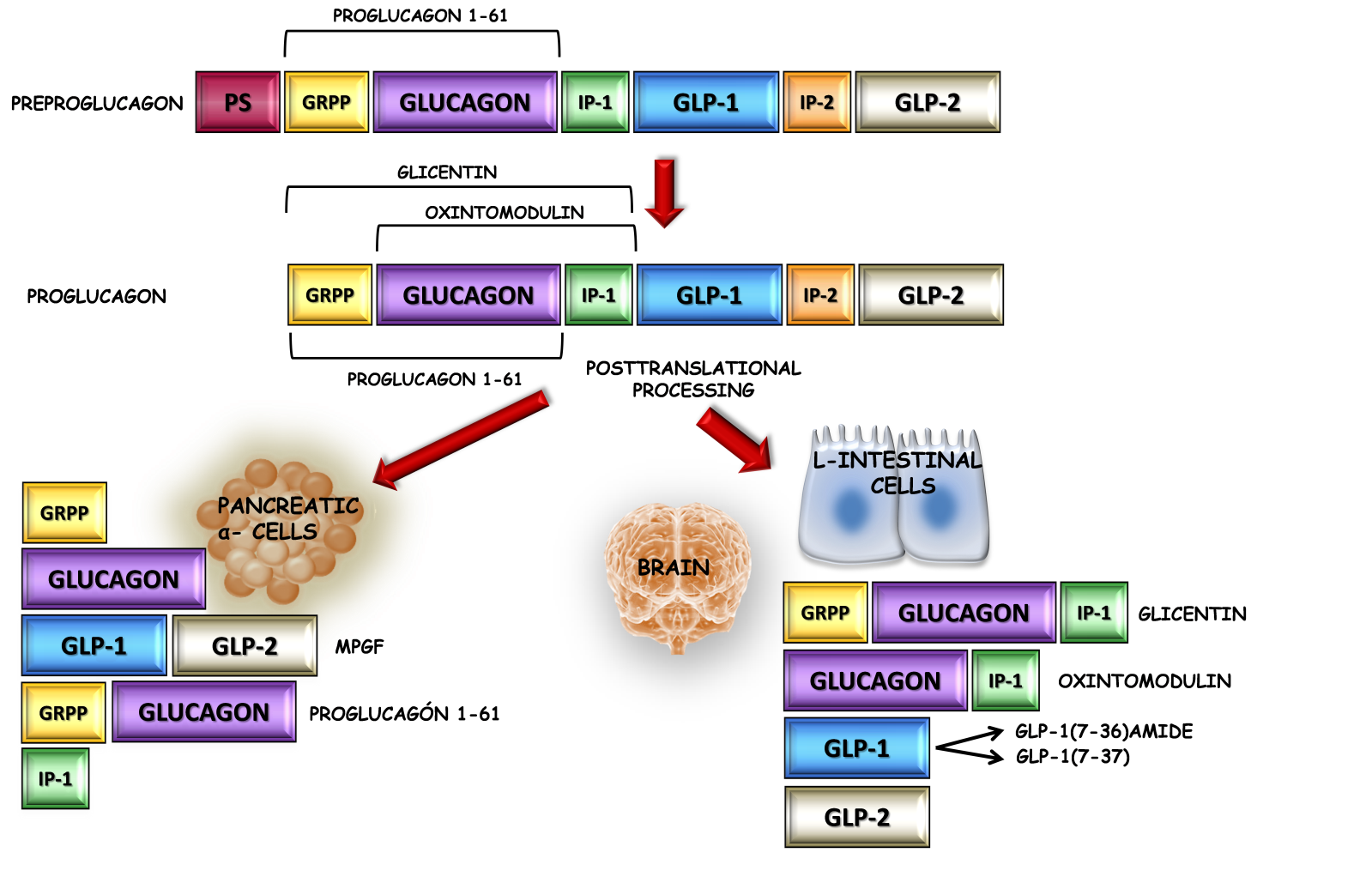 Glucagon-Like Peptide-1 and Its Implications in Obesity | IntechOpen