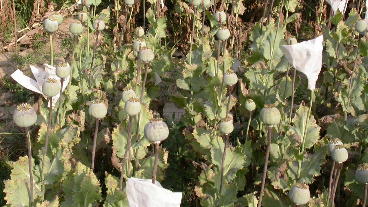 Opium Poppy: Genetic Upgradation Through Intervention of