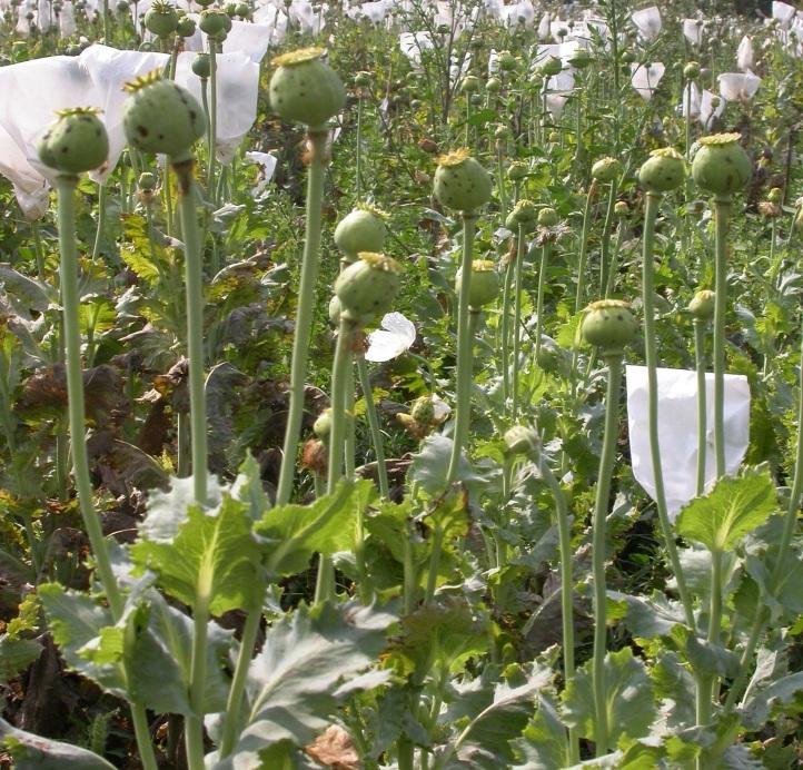 Opium Poppy: Genetic Upgradation Through Intervention of