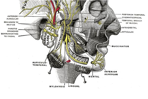 Inferior Alveolar Nerve Transpositioning for Implant Placement