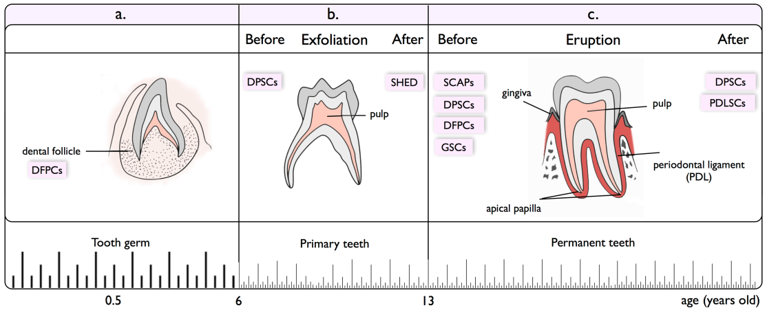 Dental Related Stem Cells And Their Potential In Regenerative