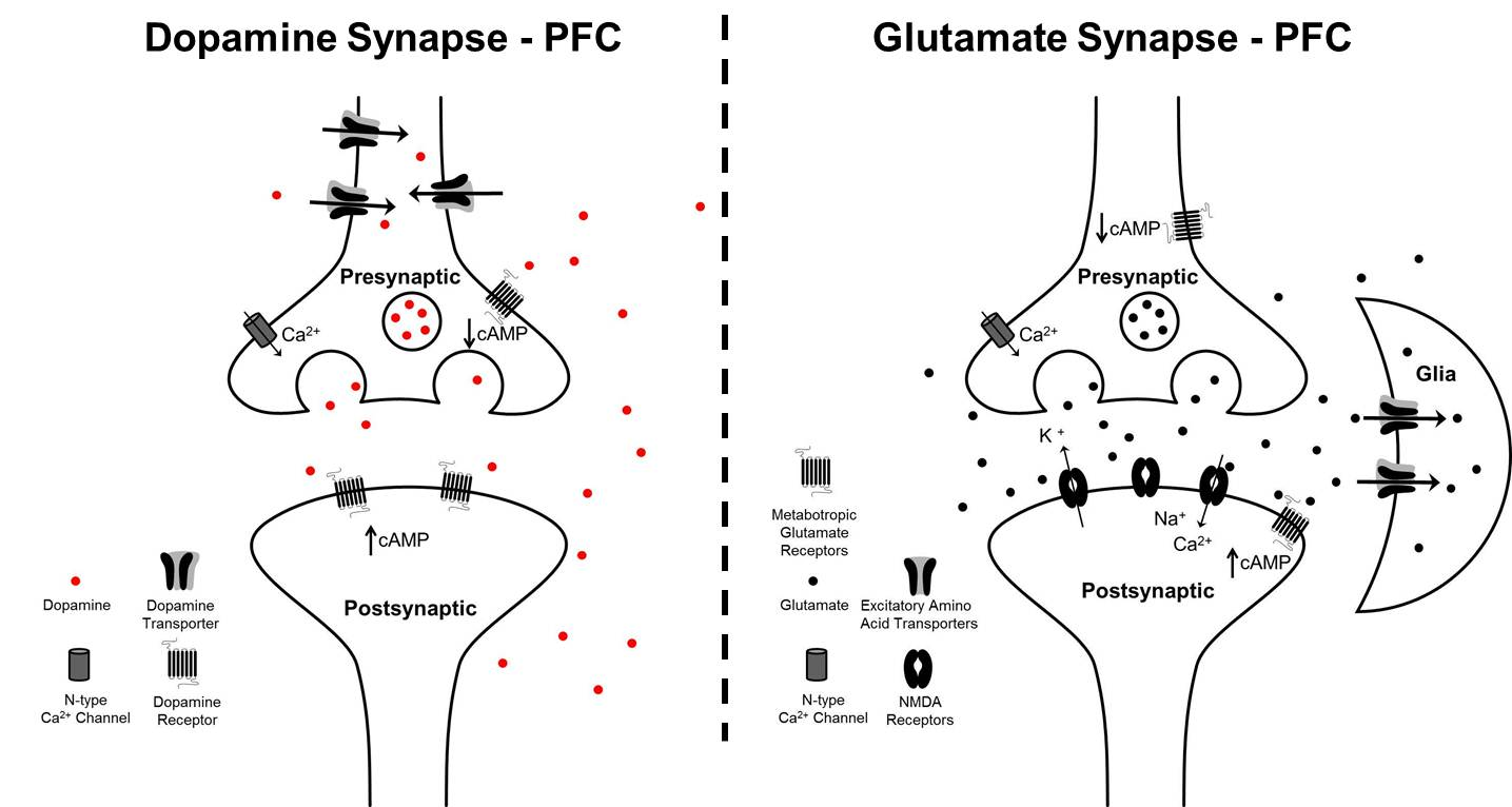 Adhd Drugs Increase Brain Glutamate >> Dopamine And Glutamate Interactions In Adhd Implications For The