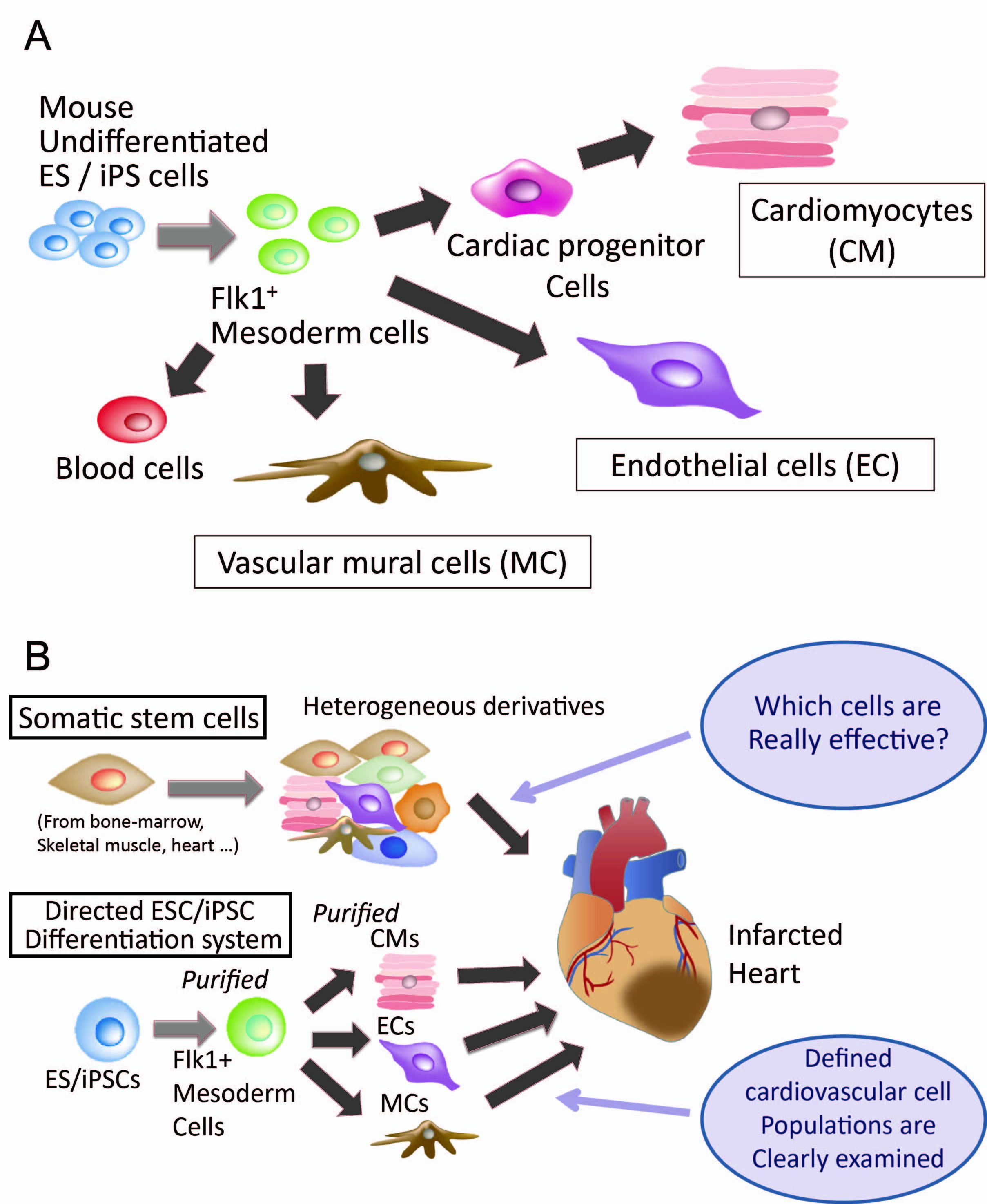 Pluripotent Stem Cells For Cardiac Cell Therapy The Application Of Cell Sheet Technology Intechopen