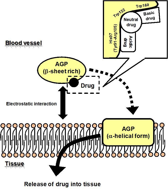 Molecular Aspects Of Human Alpha-1 Acid Glycoprotein