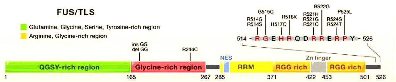 Genetics of ALS and Correlations Between Genotype and