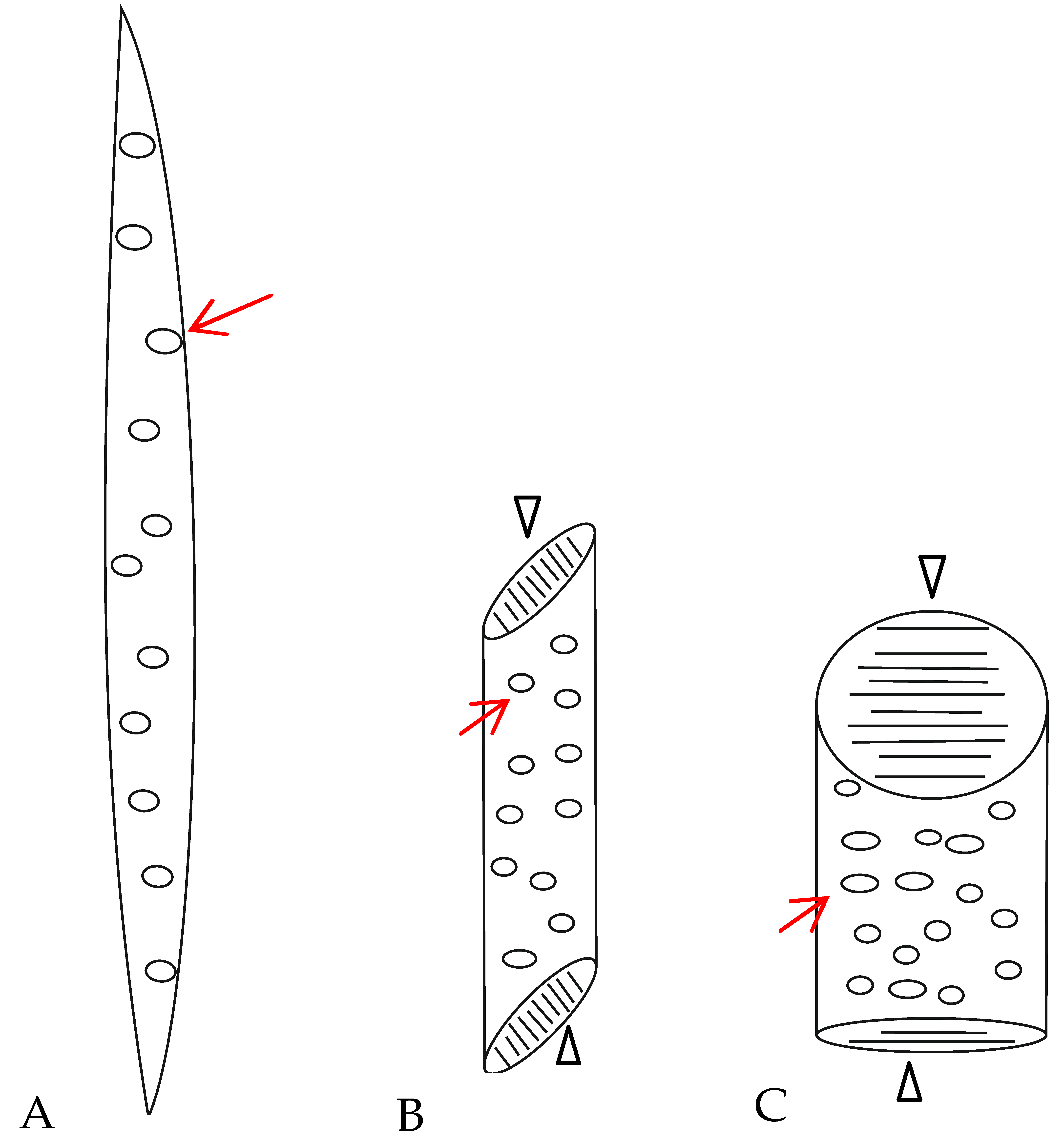 Hydraulic Efficiency And Safety Of Xylem Sap Flow In Relation To