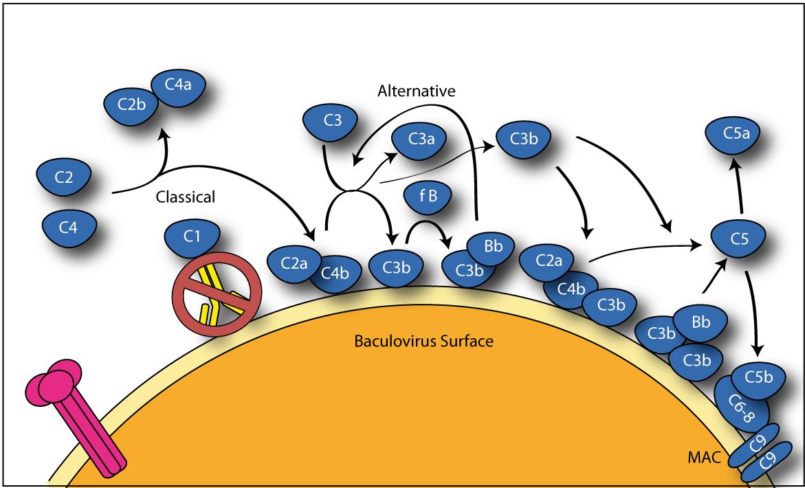 Baculovirus Display: A Novel Tool for Vaccination | IntechOpen