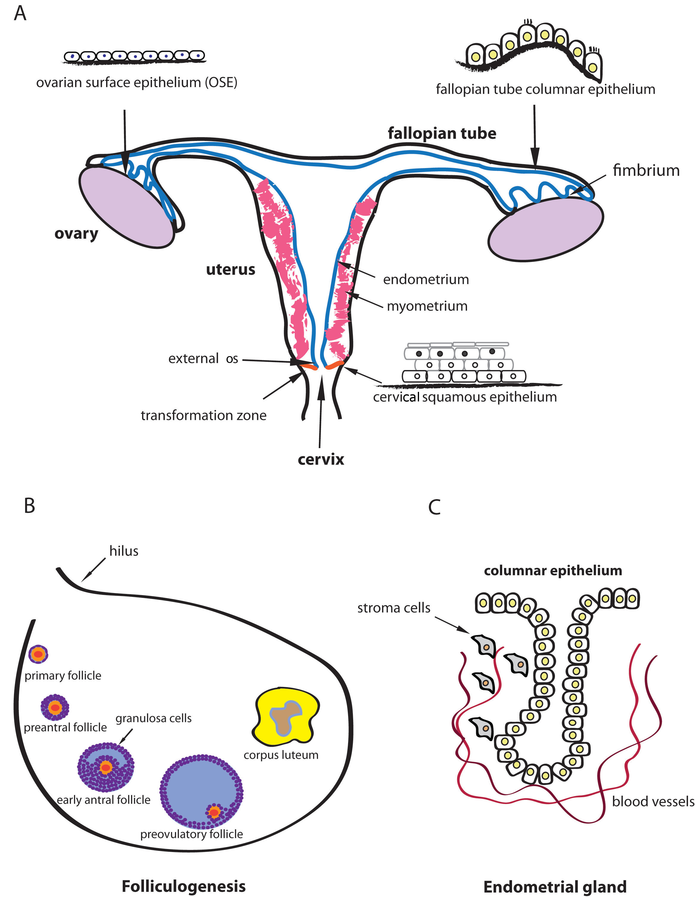Adult Stem Cell Niches Stem Cells In The Female Reproductive