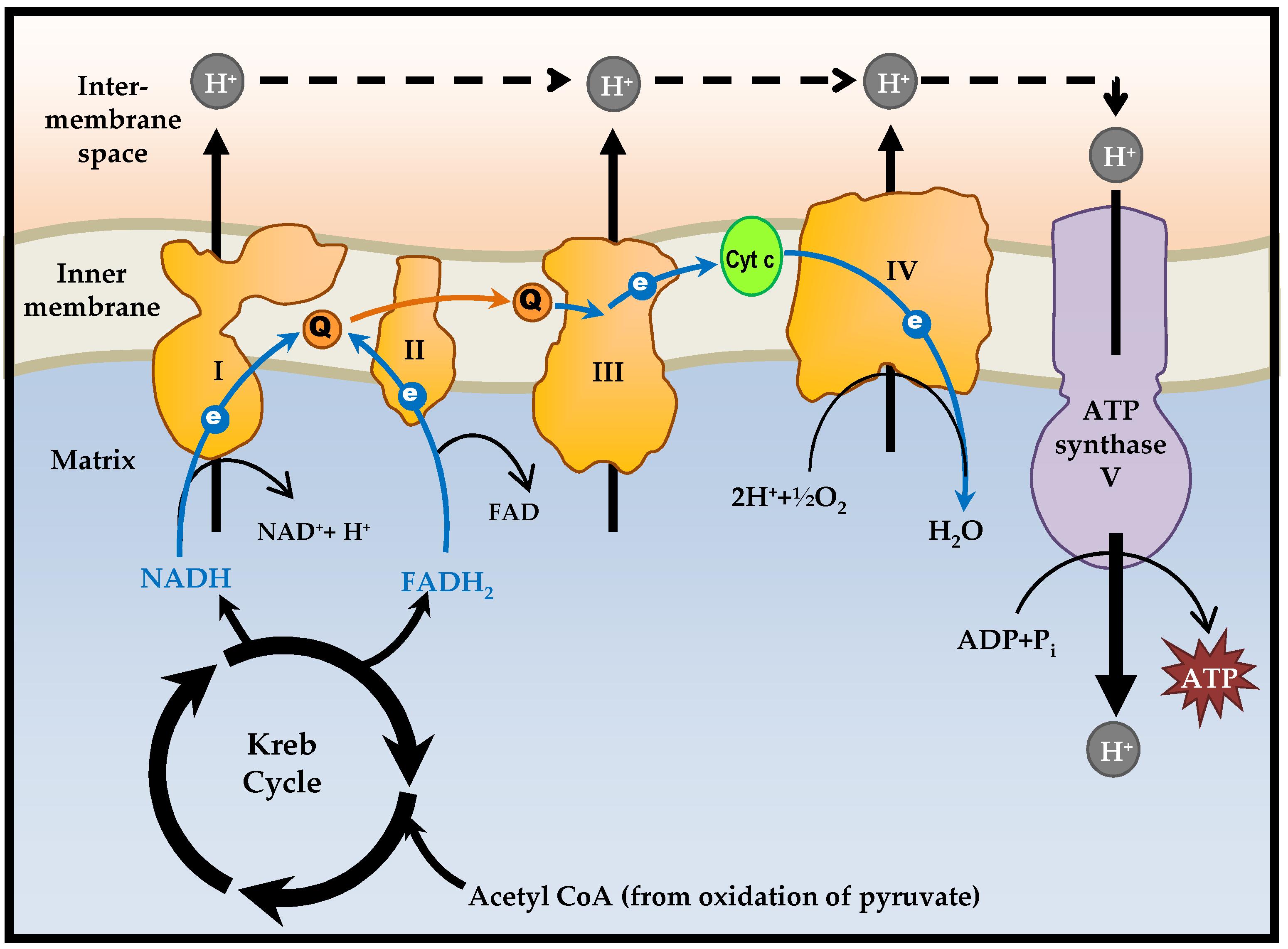 Understanding Mitochondrial Dna In Brain Tumorigenesis