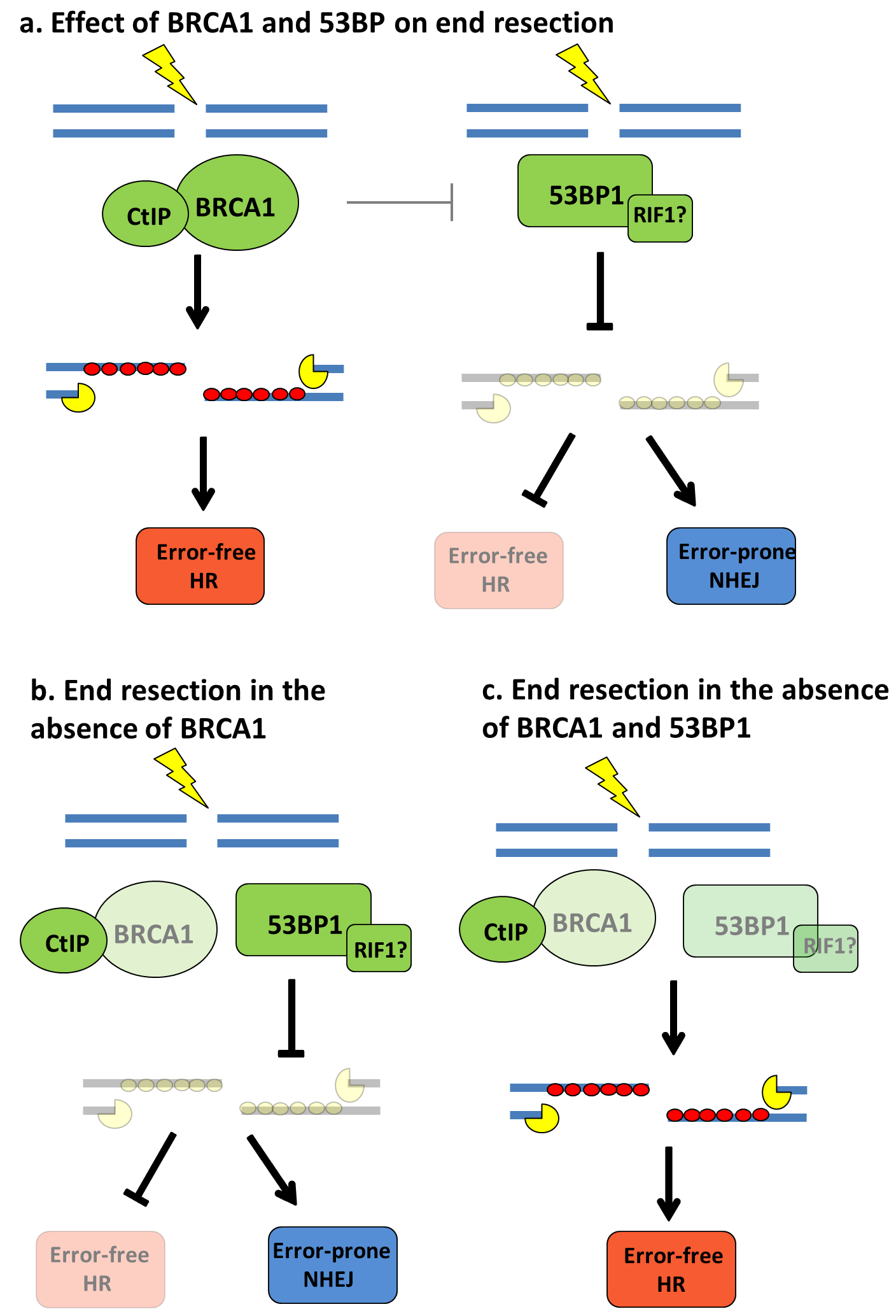 The Brca1 And Brca2 Breast And Ovarian Cancer Susceptibility Genes Implications For Dna Damage Response Dna Repair And Cancer Therapy Intechopen