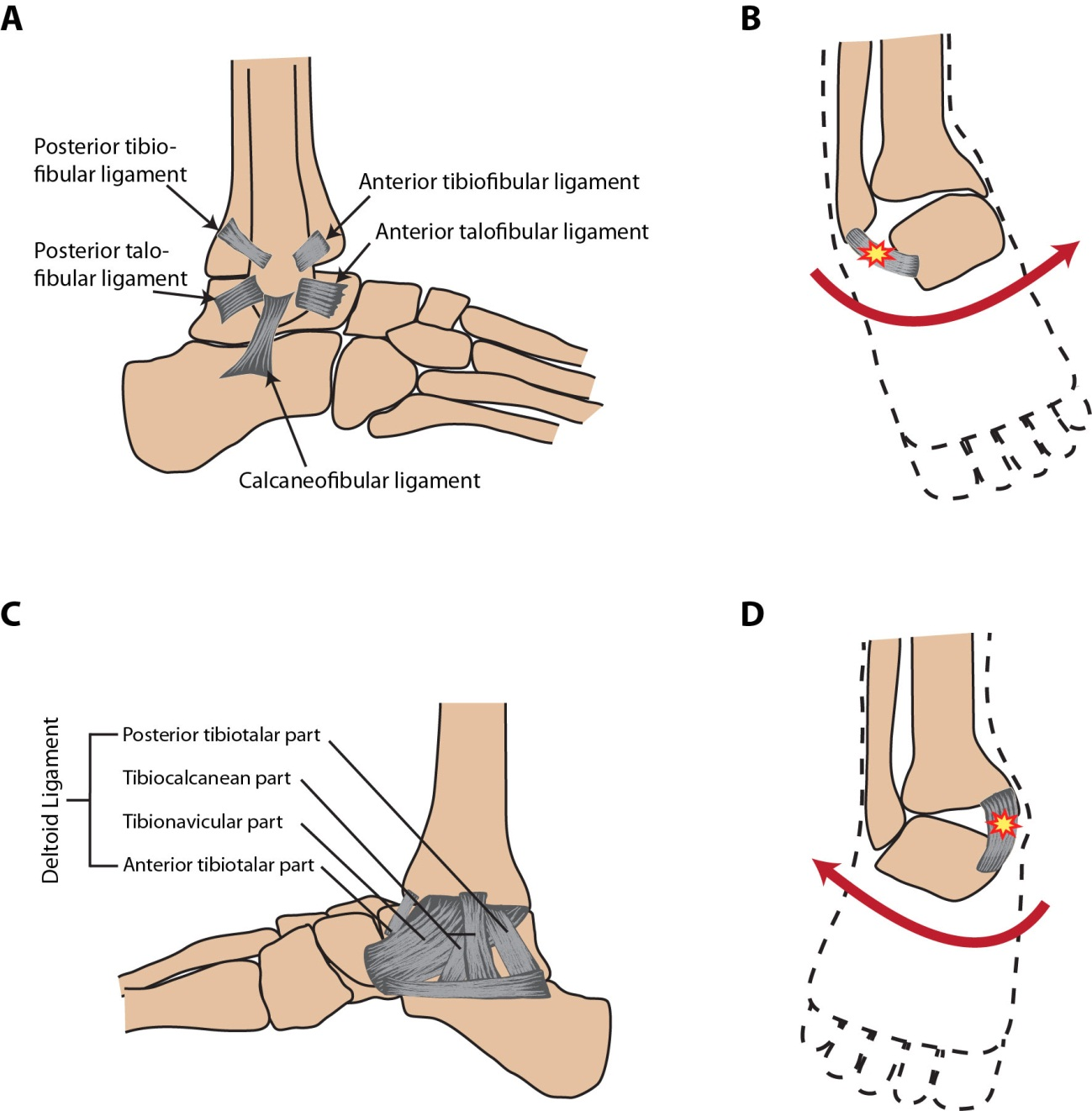 Structural And Functional Features Of Major Synovial Joints And
