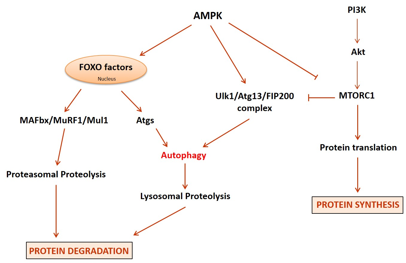 Autophagy, a Highly Regulated Intracellular System Essential to