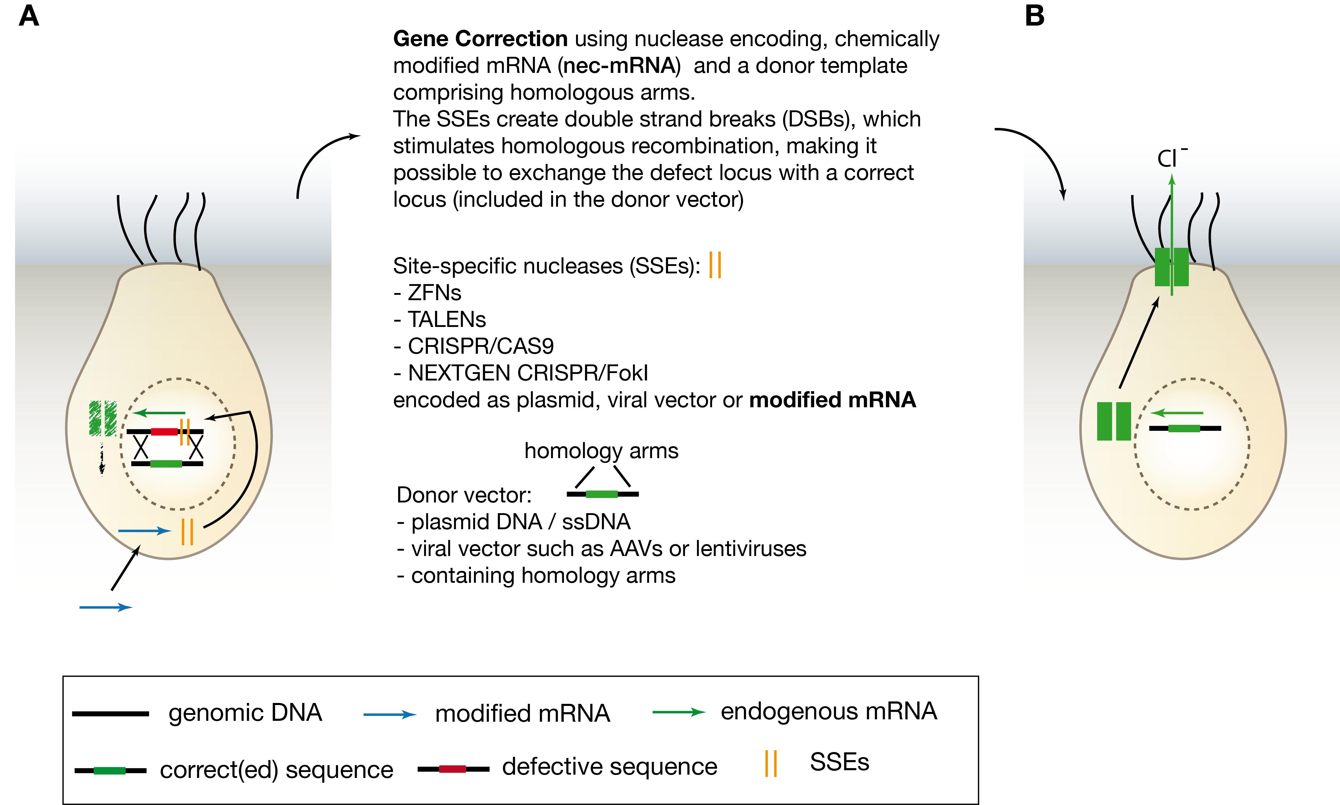 In vivo Gene Correction of Cystic Fibrosis | IntechOpen